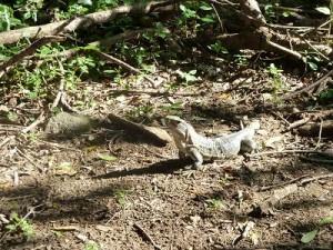 Iguana in Rincon de la Vieja