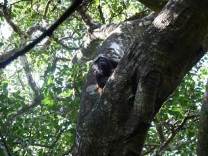 Monkey in Rincon de las Viejas