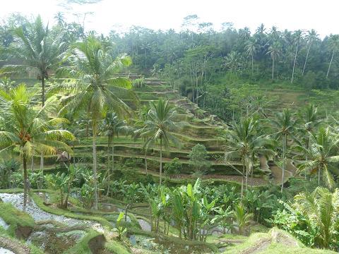 Rice terrace at Tegallalang